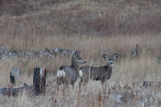 Deer (42 of 2)