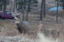 Deer (50 of 32)