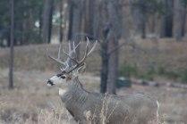 Deer (52 of 32)